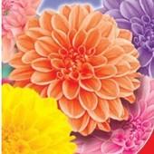 Семена георгины Дуэт помпонная. Цветет с июня до морозов.