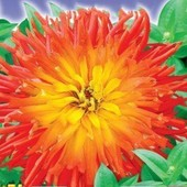Кактусовидная цинния Бог Огня. Крупноцветковая, цветет до морозов.