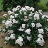 5 черенков почвокровной розы Аспирин.