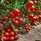 """Томат """"Колхозный урожай"""". Низкорослый.Можноть прямо в грунт. Универсальный, высокоурожайный. До 2026"""
