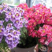 Схизантус семена. Очаровательный цветок, можно выращивать в доме и на улице.