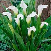 Собирайте лоты!! калла White ideal...В лоте 1 огромная с множеством росточков луковица.