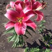 Собирайте лоті!! Лілія Sensi (Сенсі) .Розово-червона красуня!! Дуже ароматна!!