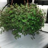 Традесканция мелколистная!!! В стаканчике три растения уже с побегами фото 2!!!