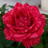 Роза чайно-гибридная Рэд Интуишн -1 саженец