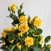 Роза спрей(бордюрная,кустовая) Елоу бейби-1 саженец