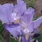 Ирис голубой,высокорослый.В одном лоте три корневища. Фото мои.