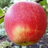 √√ Пинова √√ зимнее ,вкусное яблоко..отличная корневая система.