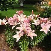 Собирайте лоты!! Все лилии в моих лотах новейшие гибриды. Азиатская лилия Renoir.