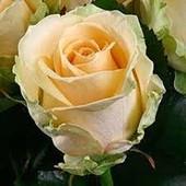 Роза чайно-гибридная Пич Аваланж-1 саженец