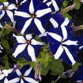 Петуния Уникум смесь или Звездопад ( синяя или красная). Лот 1 пачка на выбор. Семена до 2025 г