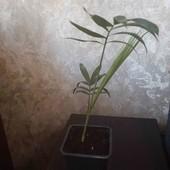 продам  хамедорею пальму