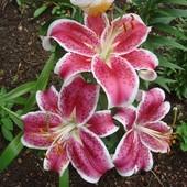 Собирайте лоты!! Лилия Старфайтер Восточный гибрид с чарующим ароматом .Будет цвести в этом году!!!