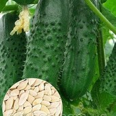 Огурцы до морозов!! Семена Украины- феникс 640.пчёлопыляемый и с огурцами до морозов.В лоте -20 семя