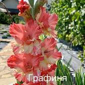 Гладіолуси 10 грн/2 шт