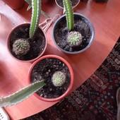 продам цветущие кактусы