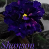Shanson - - дітка (фото цвітіння мої)
