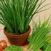 Лук душистый- драгоценность среди овощей!! До 2025. Можно в доме и на улице!!