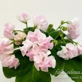 DS-Сады Любви -лот вкорінений листочок
