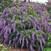 Будлея Давида пурпурно- фиолетовая, многолетний декоративный кустарник. До 2024 года.