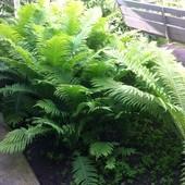 Папоротник садовый, многолетний, лот 2 деток-как раз время высажвать!!!