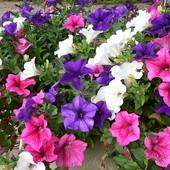 Петуния Триумф смесь цветов 100+ семян в лоте