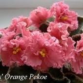 Ness Orange Pekoe -вкорінений листочок