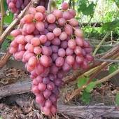 Виноград к-ш Велес -1 саженец