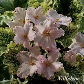 Ніжний пестролисник Willodene-вкорінений листочок