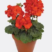 """Пеларгония зональная """"Мулен Руж""""! Лот - растение фото 2! Цвет маточника - фото 3 !"""
