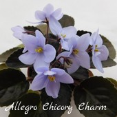 Allegro Chicory Charm (J. Stromborg) - діткa