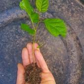 Два ростка лесного ореха на посадку