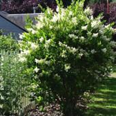 Бирючина- живая изгородь в лоте 3 саженца