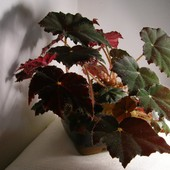 """Бегония декоративно-лиственная """"Клеопатра""""! Лот- крепкий молодой кустик (фото2)!"""
