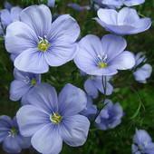 Лен крупноцветковый, смесь цветов.Сеем Весной и осенью!!!