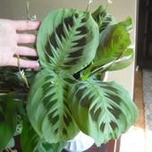 Комнатный цветок,в лоте молодой куст с огромными листочками