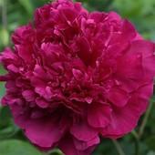Сортовой пион Ирвин Олтман. Шикарное и обильное цветение!