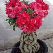 Адениум( Роза пустыни, растение бонсай) (фото 3, 4)