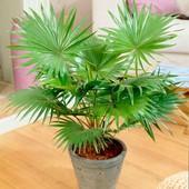 Пальма китайская Ливингстона. Семена 5 шт.