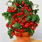 Комнатный помидор Бонсай. Неприхотлив, устойчив к стрессам и низкой освещённости.