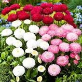 Семена цветов Маргаритка Смесь 0.1 г