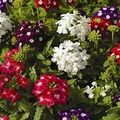Семена цветов Вербена крупноцветковая Смесь, 0.1 г